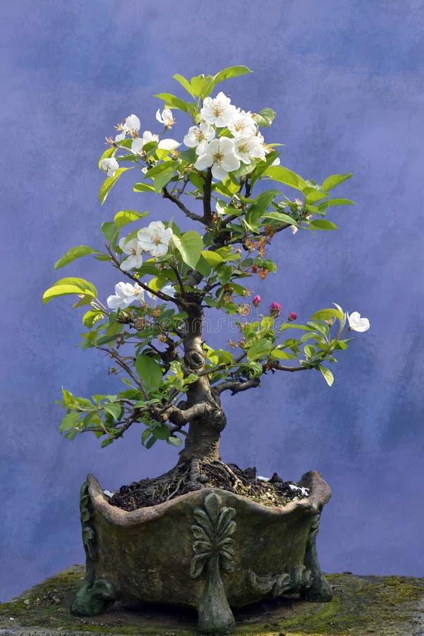Яблоня дерева бонзаев стоковые фотографии rf