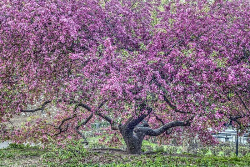Яблоня рака - яблоня «фиолетовый принц» [ стоковое фото