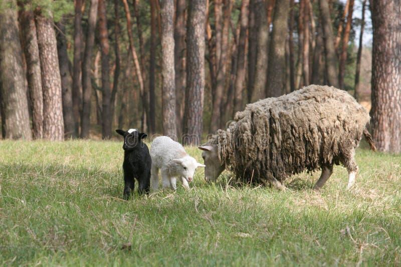 полумахровые фото овцы спрятались макросъемки