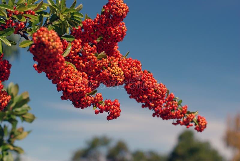 ягоды вал красного цвета тяжело установленный стоковая фотография rf