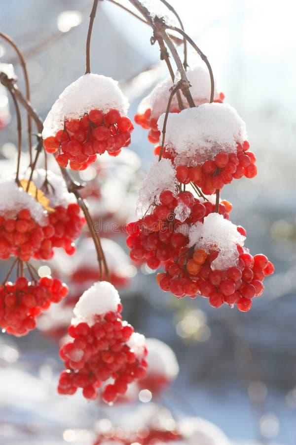 Ягоды золы в снеге стоковые изображения