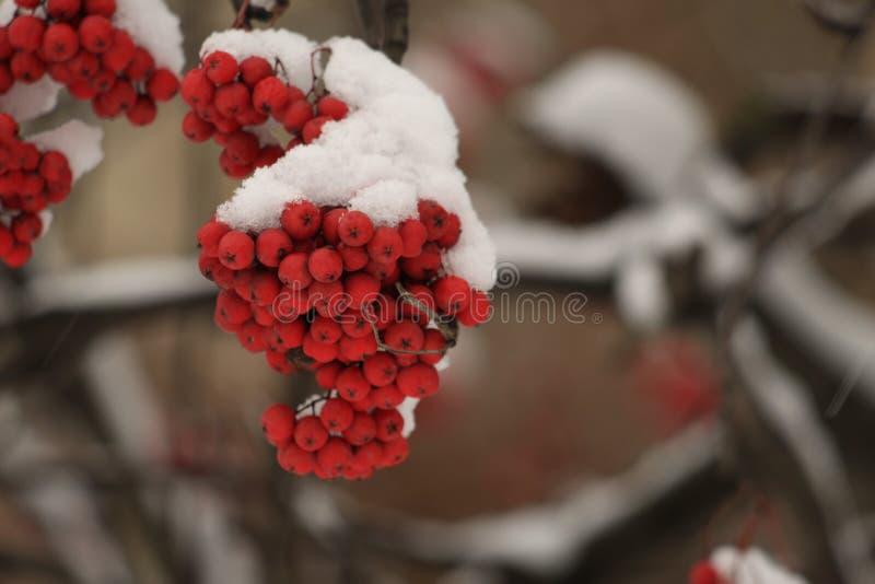 Ягоды золы горы под снегом стоковые фото