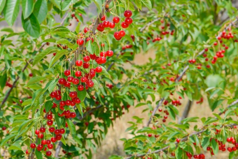 Ягоды красной вишни на ветви стоковые фото