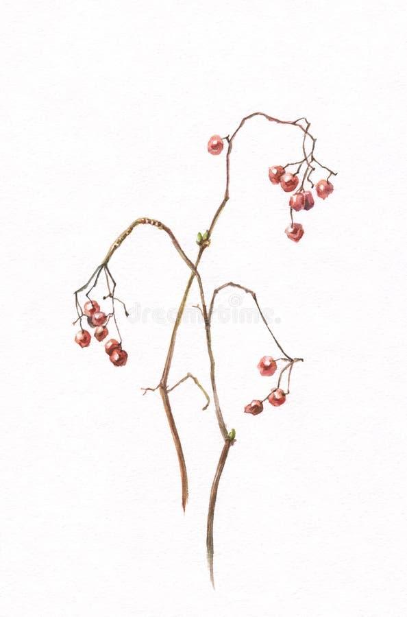 ягоды крася акварель viburnum бесплатная иллюстрация