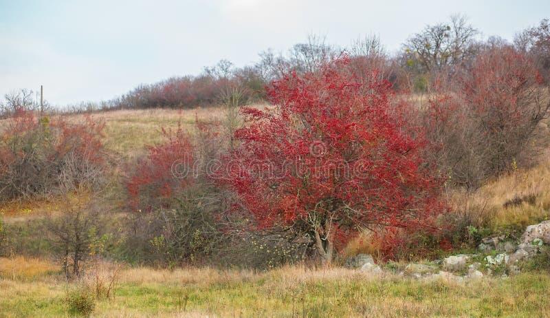 Ягоды осени красные monogyna боярышника дерева боярышника в сельском ландшафте стоковое фото rf