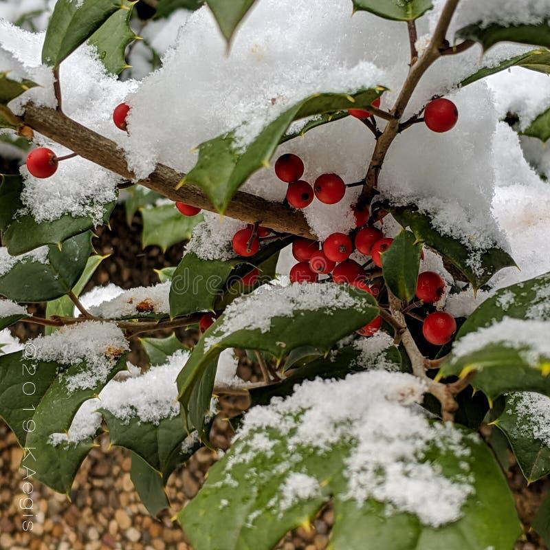 Ягоды падуба в снеге стоковая фотография rf
