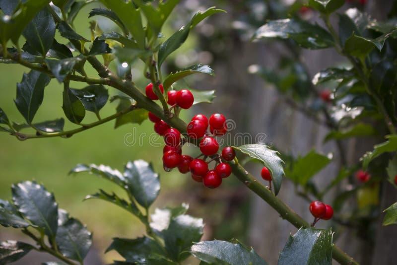 Ягоды падуба растя на Буше стоковые фотографии rf
