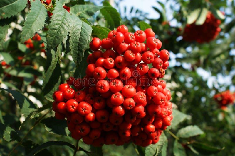 ягоды померанцовые стоковые изображения rf