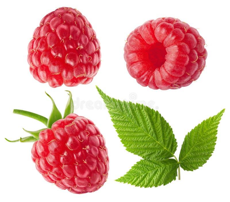 ягоды свежие Собрание плодов поленики с листьями изолированными на белом с путем клиппирования стоковые фотографии rf