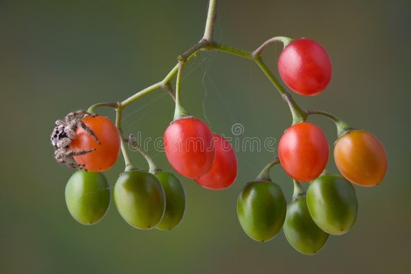 ягоды скача спайдер стоковые изображения