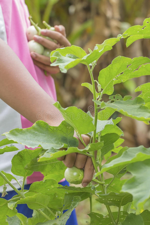 Ягода таракана выбора зеленая стоковое фото rf