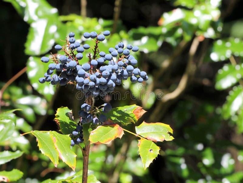 Ягоды виноградины Орегона - Mahonia Aquifolium стоковая фотография rf