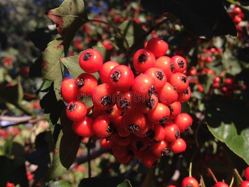 Ягоды дерева боярышника осенью в Central Park, Манхаттане стоковые изображения rf