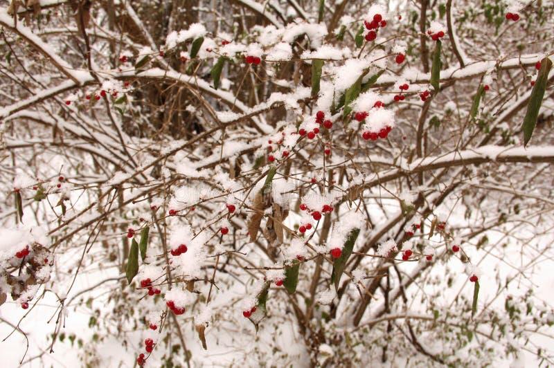 Ягоды зимы стоковое фото rf