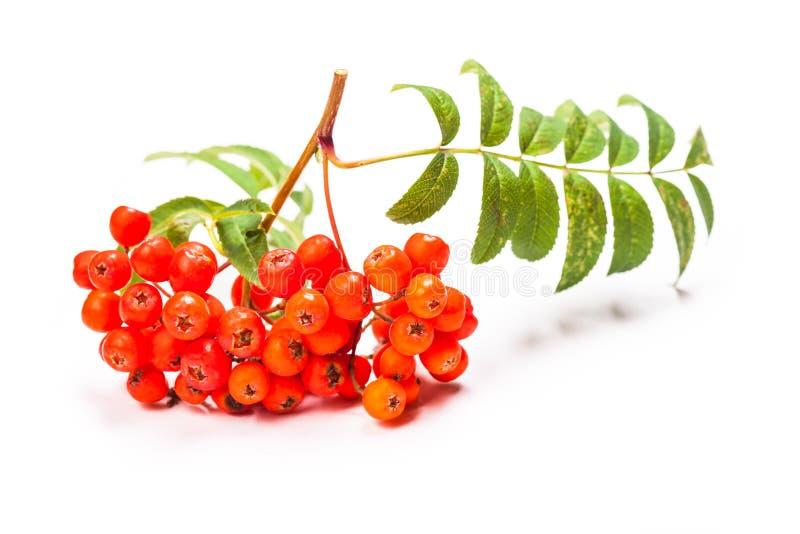 ягоды изолировали рябину стоковая фотография