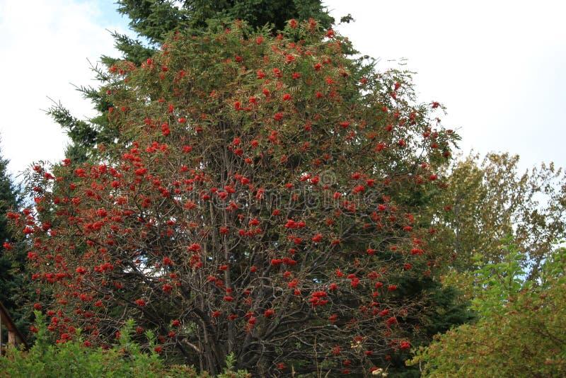 Ягоды осени красные на большом кусте в падении стоковые фотографии rf