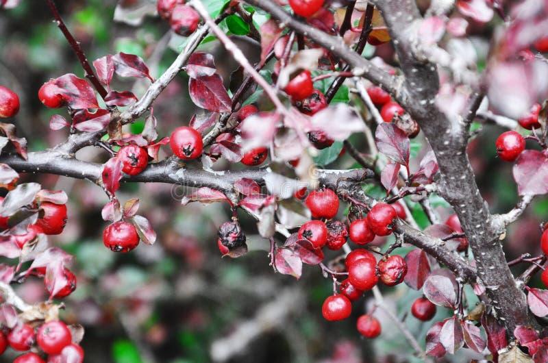 Ягоды осени стоковое изображение