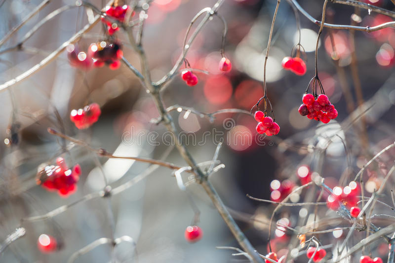 Ягоды Overriped красные и хрупкие хворостины guelder подняли (viburnu стоковое фото rf