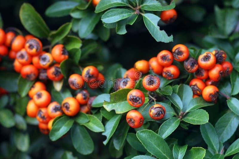 Ягоды Pyracantha среди листьев стоковые изображения rf