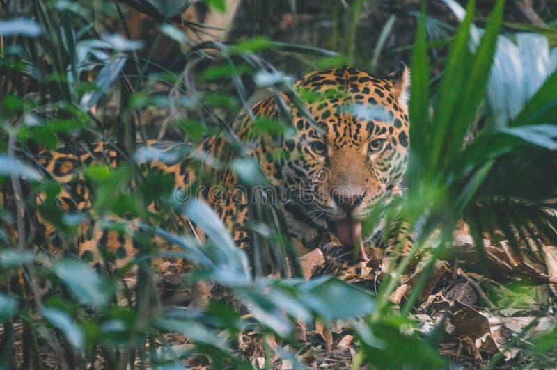 Ягуар и добыча стоковое изображение