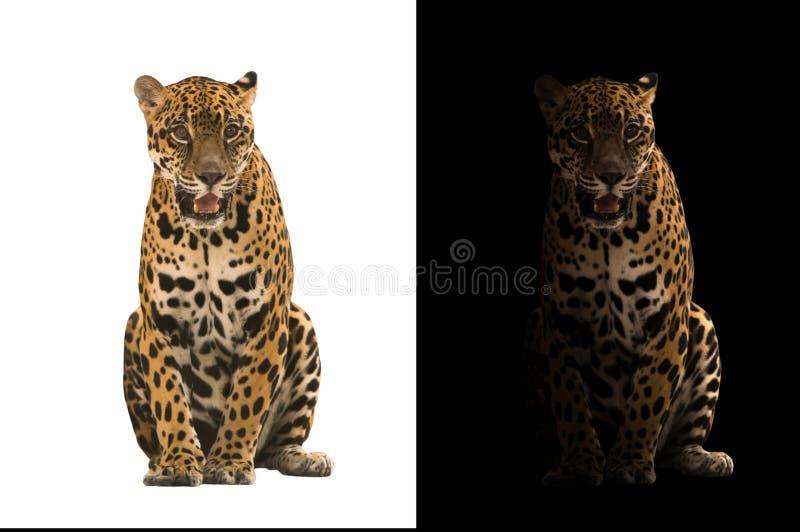 Ягуар на черно-белой предпосылке стоковая фотография