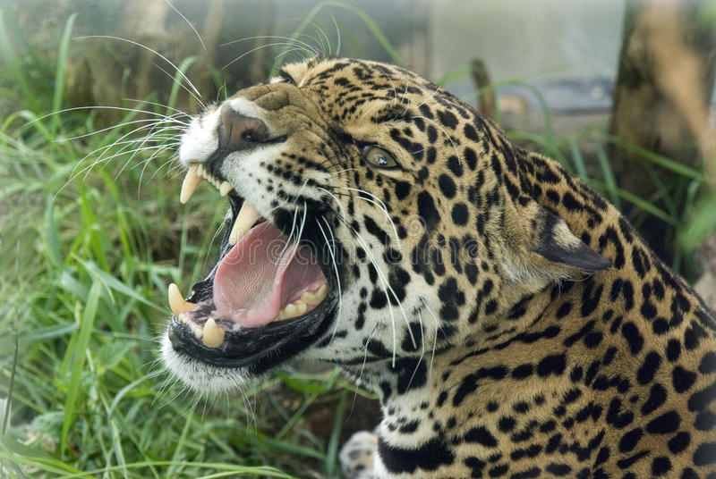 ягуар стоковое фото rf