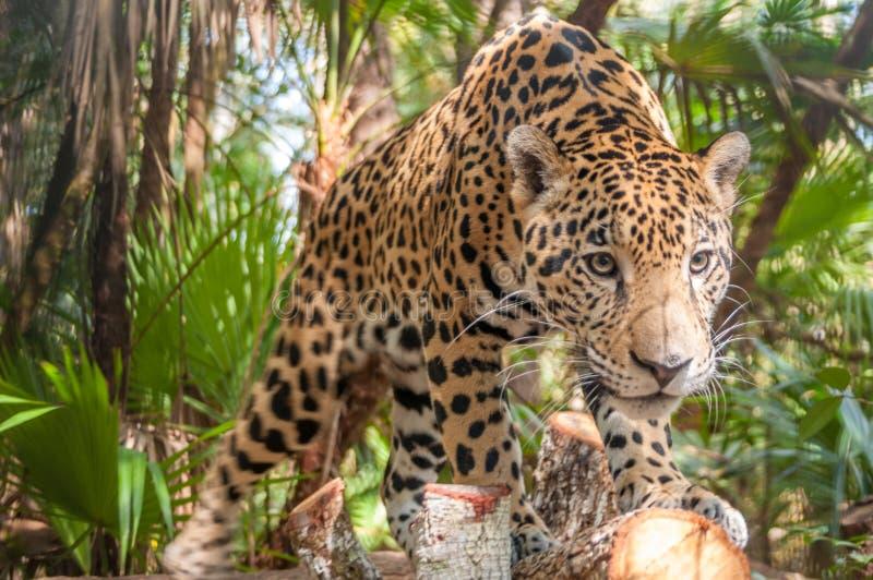 Ягуар стоковая фотография