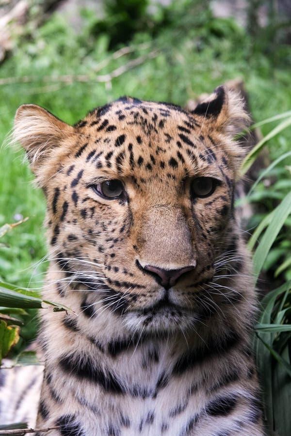 ягуар стоковое изображение rf