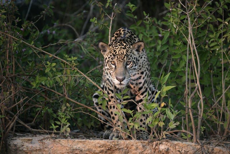 Ягуар, onca пантеры стоковая фотография