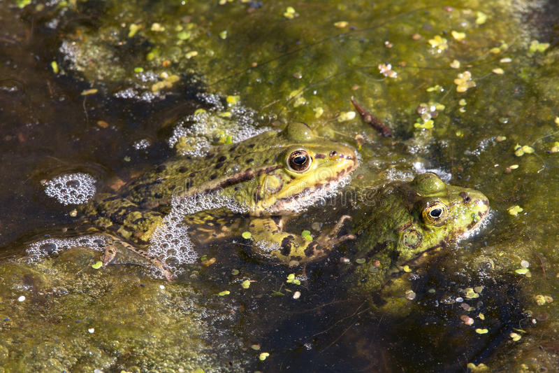 2 лягушки пруда стоковое фото