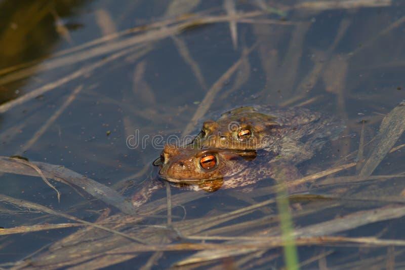 2 лягушки стоковые изображения rf