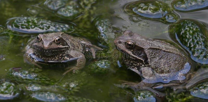 лягушки 2 стоковые изображения