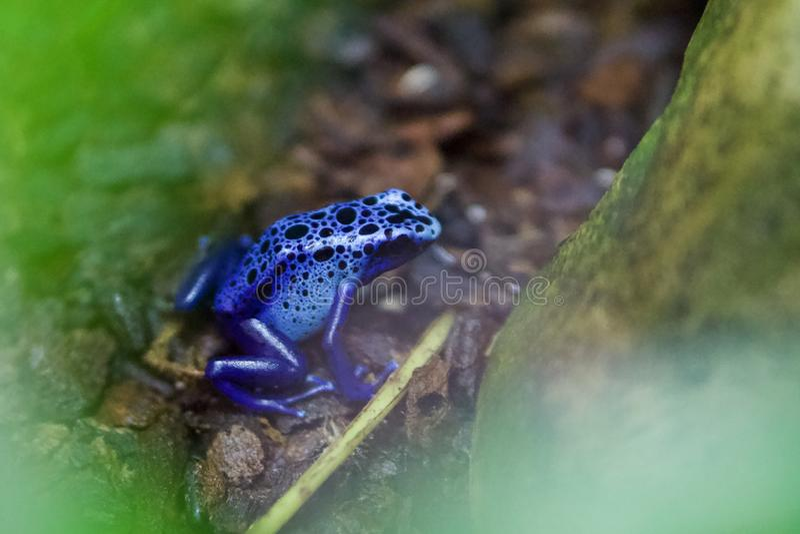 Ядовитая голубая лягушка стрелки от Южной Америки стоковое фото rf