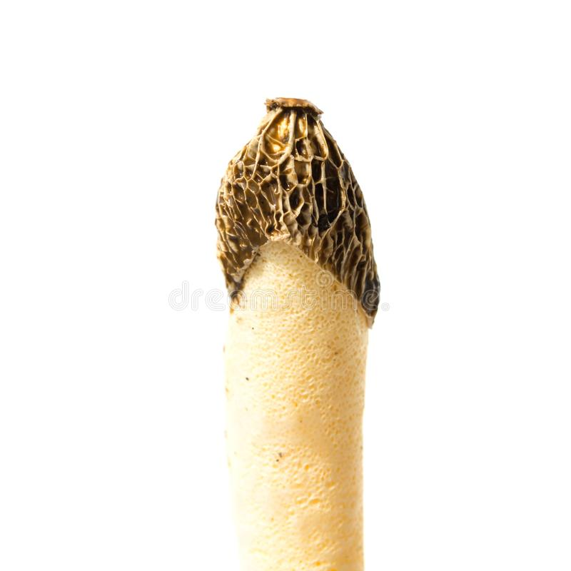 Ядовитое impudicus Phallus гриба стоковая фотография