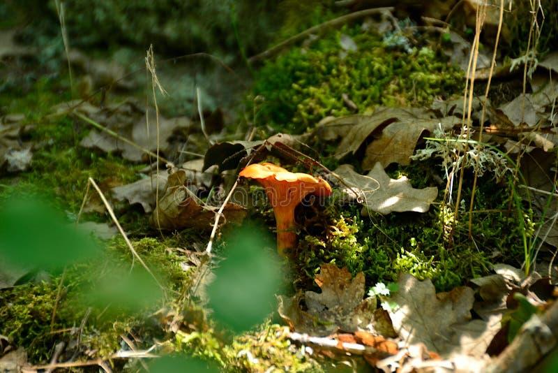 Ядовитое olearius Omphalotus гриба стоковая фотография rf