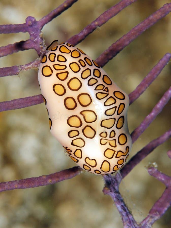 язык улитки Гондураса фламингоа папоротника коралла roatan стоковое изображение rf
