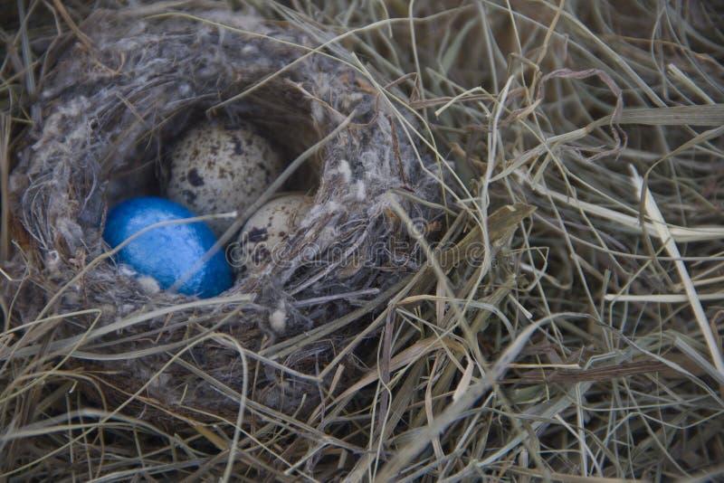 Яичка в гнезде на предпосылке сухой травы стоковое фото