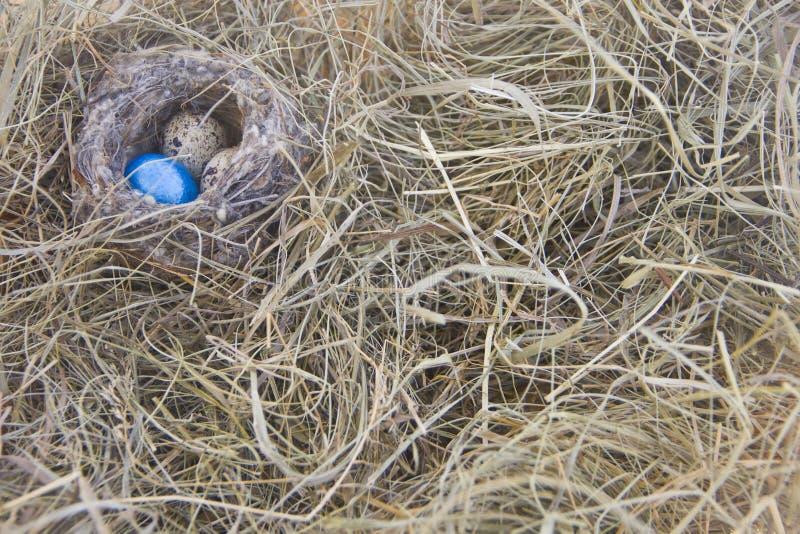 Яичка в гнезде на предпосылке сухой травы стоковая фотография