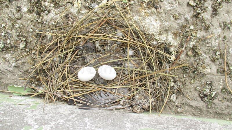 Яичка голубя и мертвый голубь младенца в мысе соломы стоковые фото