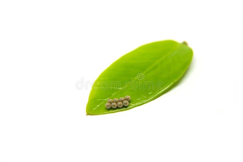 Яичка насекомого положенные на зеленые листья Яичка бабочки Яичка насекомого аранжированные в строках Красивые яичка насекомого стоковое фото rf