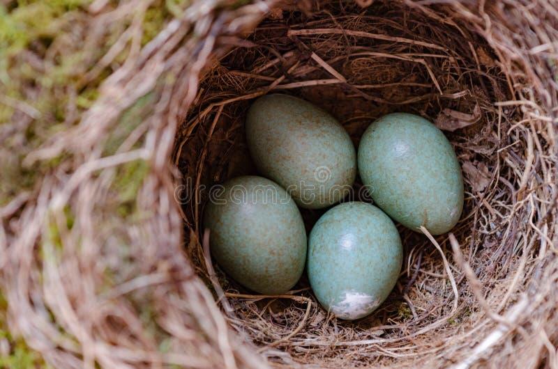 Яичка птицы дросселя в гнезде стоковые фото