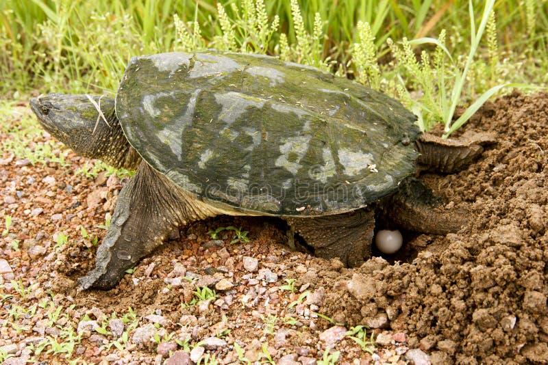 Яичка щелкая черепахи стоковые изображения rf