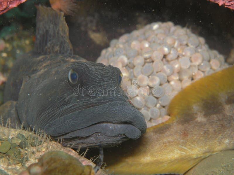 яичка eel защищая свой pout стоковые фотографии rf