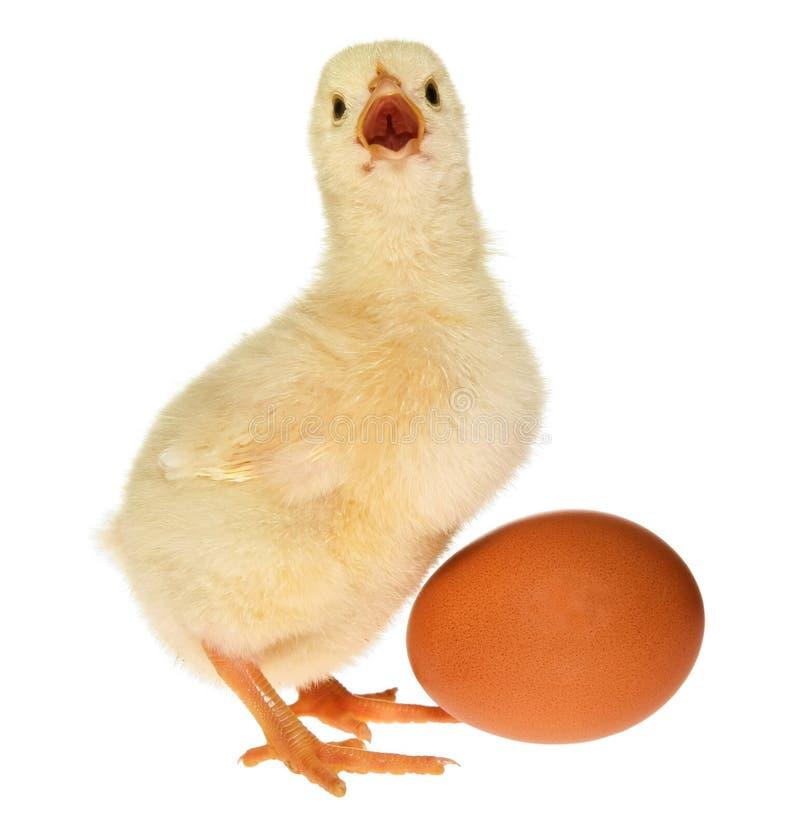 яичко цыпленока младенца стоковое фото