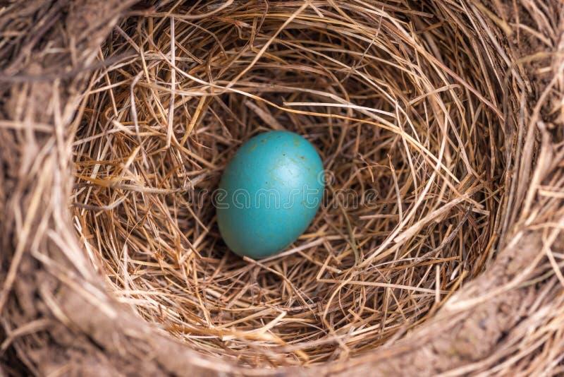 Яйцо бирюзы американца Робин в гнезде стоковая фотография