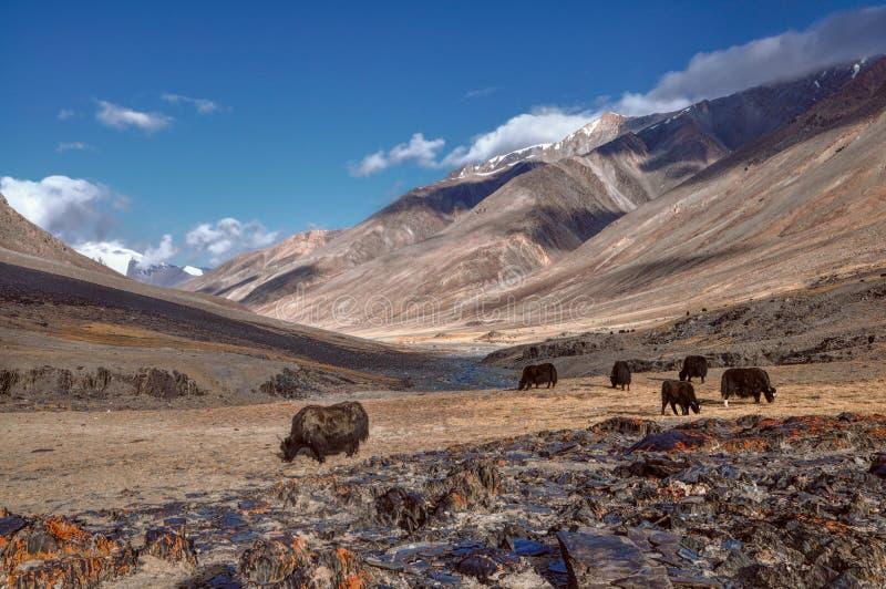 Яки в Таджикистане стоковые фото