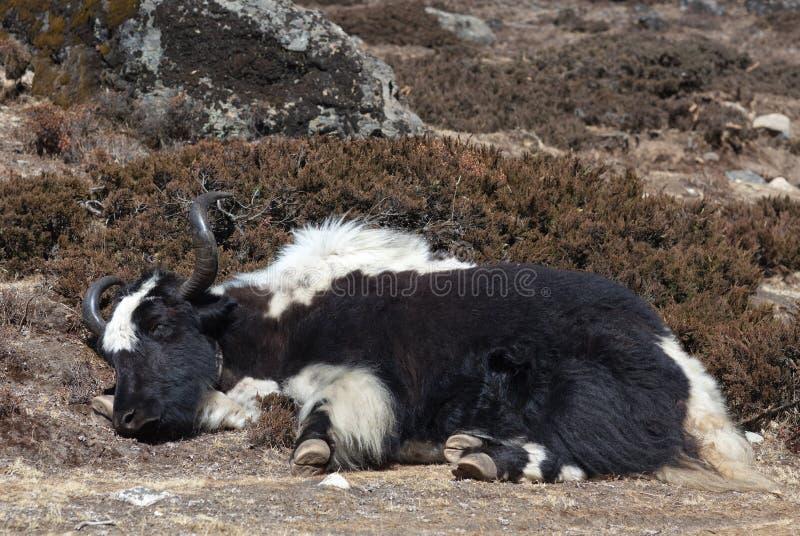 Яки спать в Гималаях Непала стоковое фото