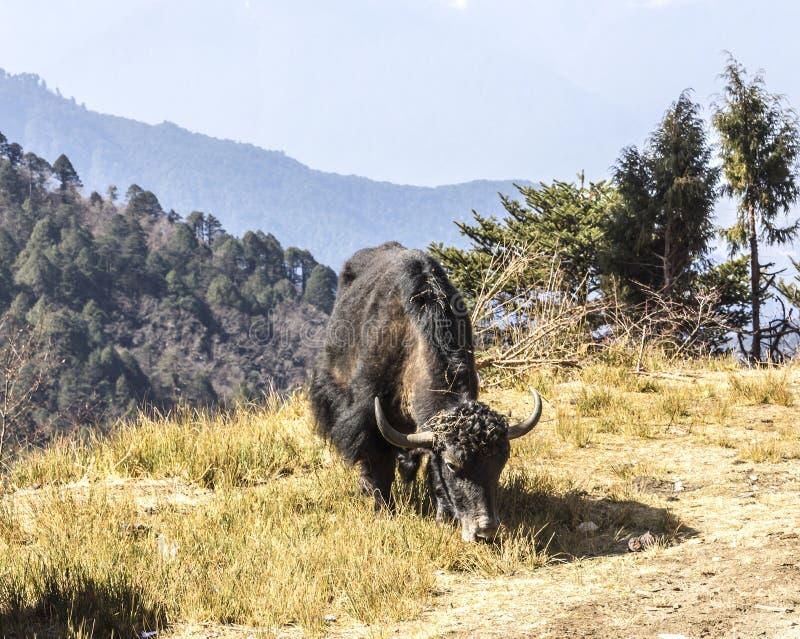 Яки Grazig в Гималаях стоковое изображение rf
