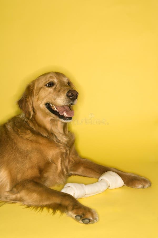яловка собаки косточки стоковые изображения