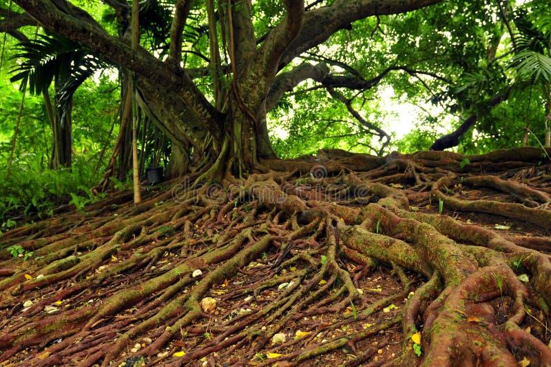 ямайский вал mahogany стоковое изображение rf